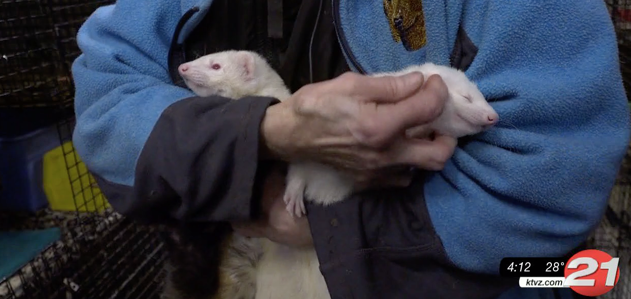There's only one animal shelter in Central Oregon focused on rehoming ferrets, and it's located in Prineville. The Oregon Ferret Shelter is a no-kill shelter, meaning no ferrets are euthanized due to lack of room.