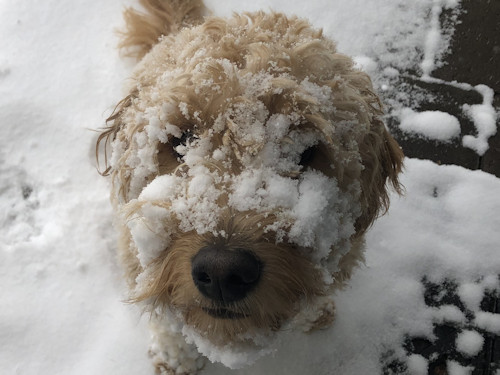 Bailey golden doodle in snow Linda Larsen 1127