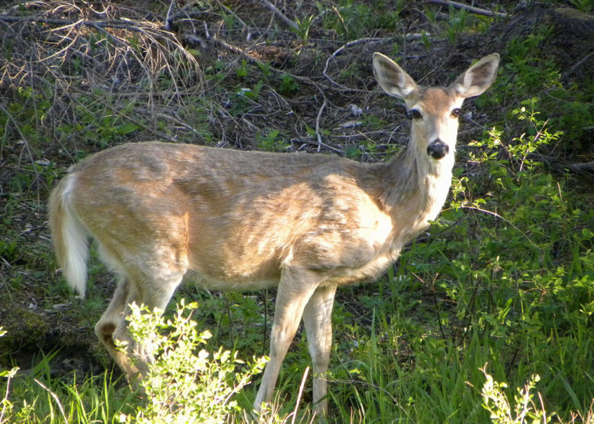 White-tailed deer ODFW