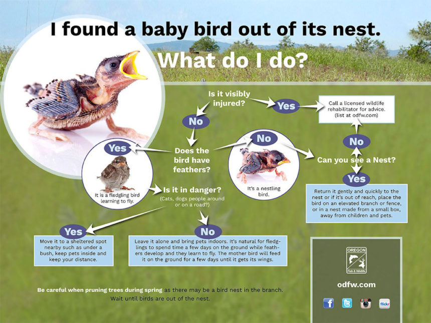 Find a baby bird what to do ODFW