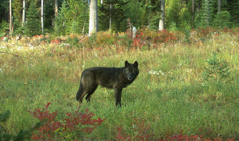 A wolf of the Wenaha Pack captured on a remote camera on U.S. Forest Service land in northern Wallowa County in September, 2018.