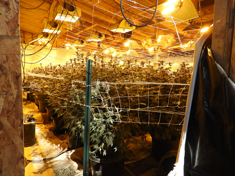 Marijuana grows bust DCSO 527-1