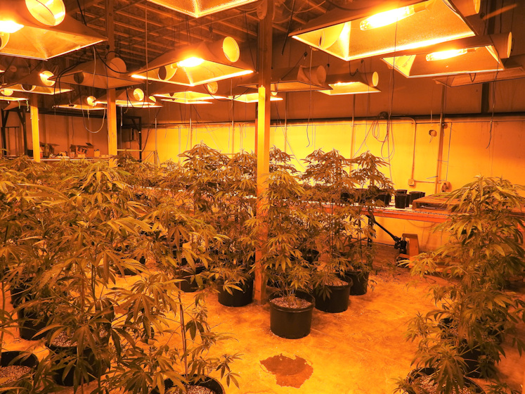 Marijuana grows bust DCSO 527-2