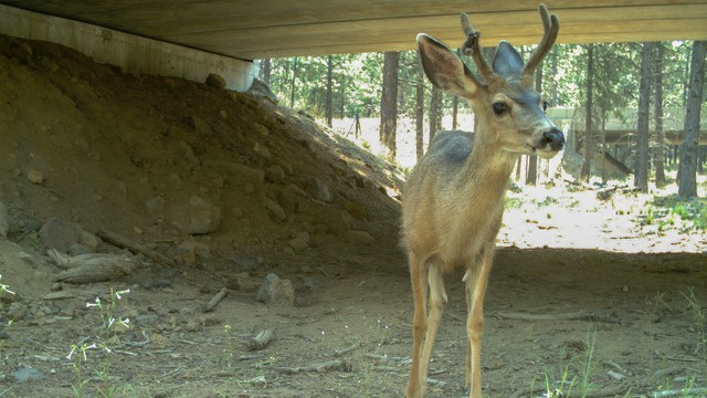 Mule deer uses Highway 97 wildlife undercrossing ODOT