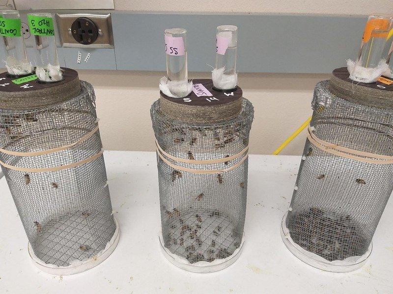 Honeybees in cages OSU