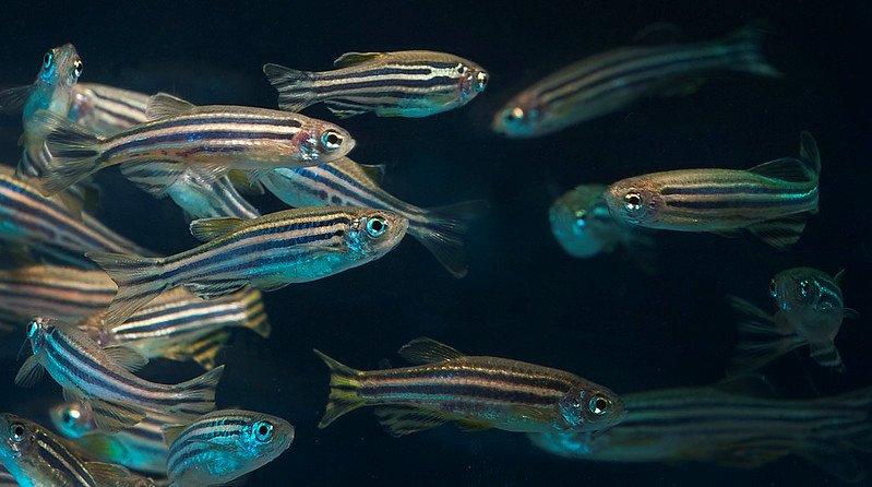 Zebrafish OSU Lynn Ketchum