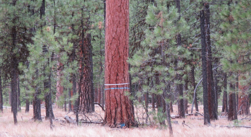 Eastern Oregon old growth logging Rob Klavins Oregon Wild