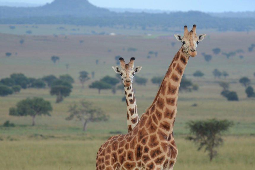 H_Uganda-giraffes Oregon Zoo Sheri Horiszny