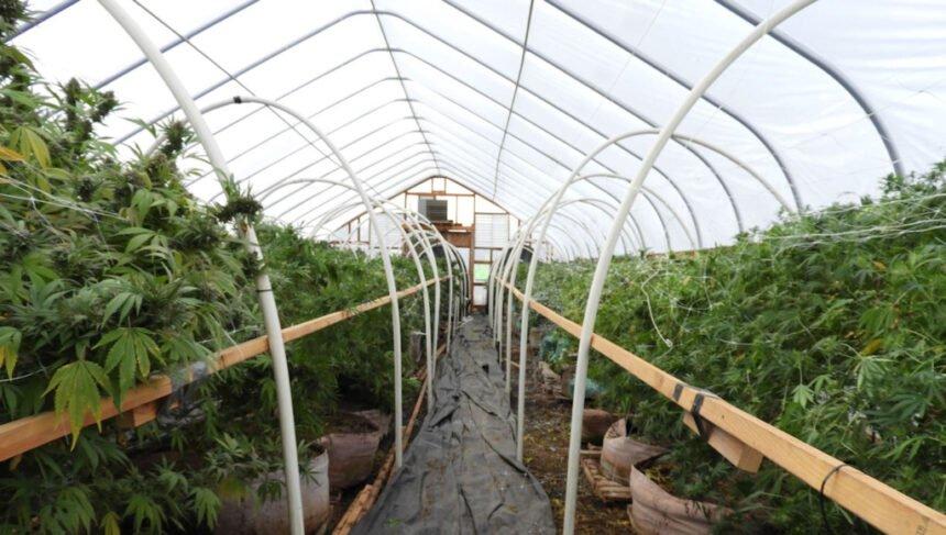 Alfalfa marijuana grow DCSO 924-1
