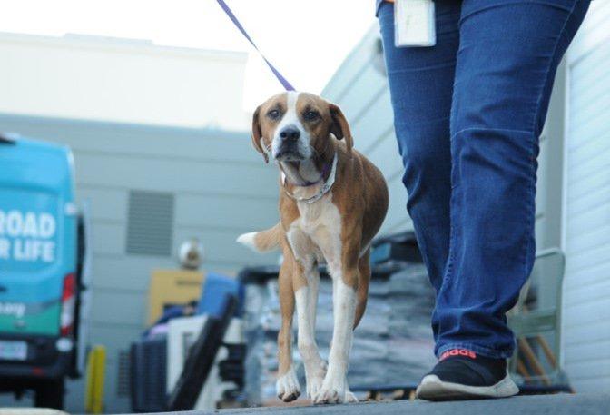 Hawaii dog rescue Humane Society of Oregon 1029