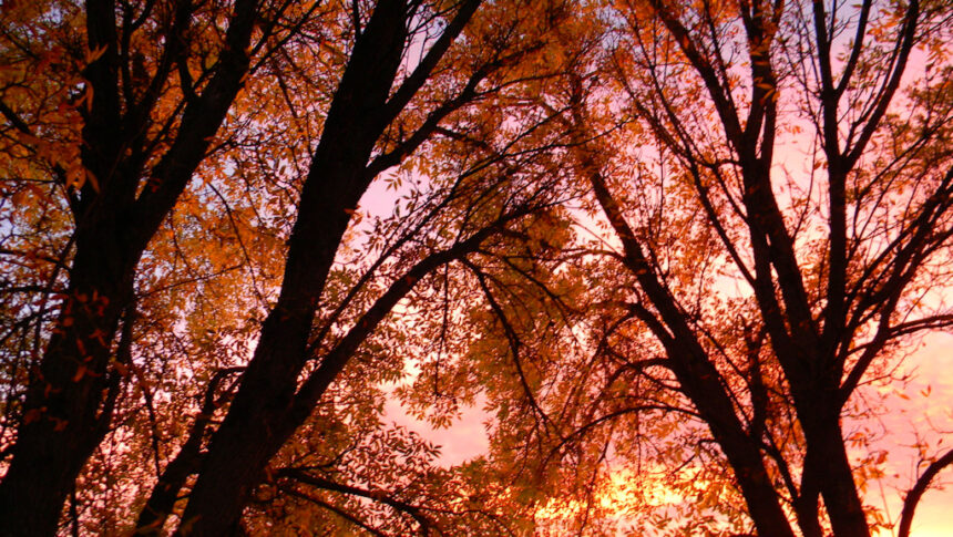 Sunset ash trees Larry Cole