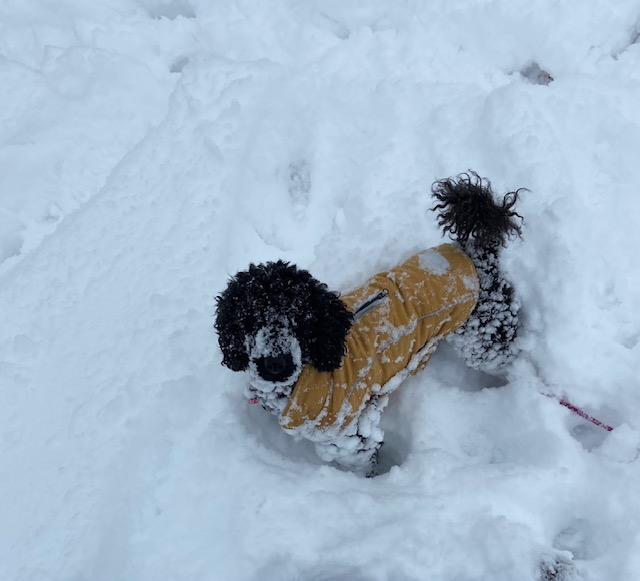 Andi mini-poodle snow SW Redmond Janie Ronchelli
