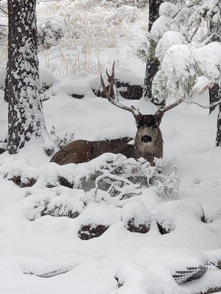 Backyard deer Kim Schostalo 123