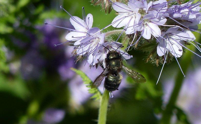 Blue Orchard bee OSU
