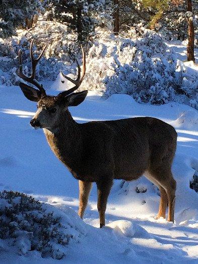 Buck in snow Awbrey Butte Neil Korth 124