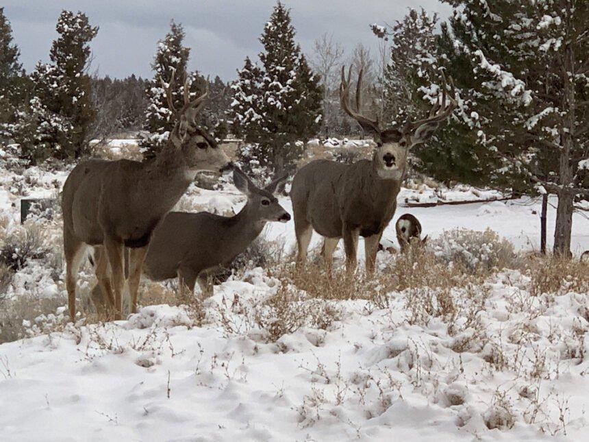 Deer snowy east Bend Tara Hackler 124