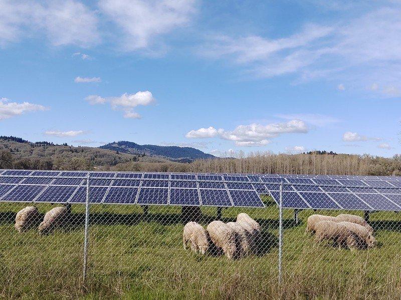 Sheep and solar panels OSU