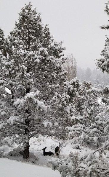 Snow deer Bend Kim Reid 123