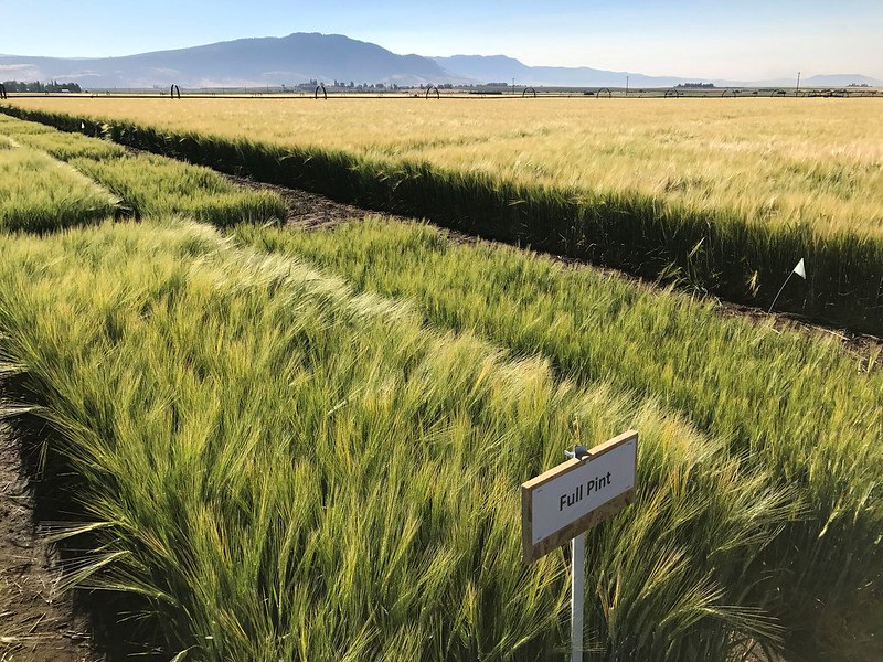 Oregon State University barley variety Full Pint grows in an experimental plot in Summerville