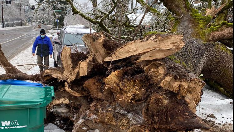 Numerous trees were felled by recent ice storm in western Oregon