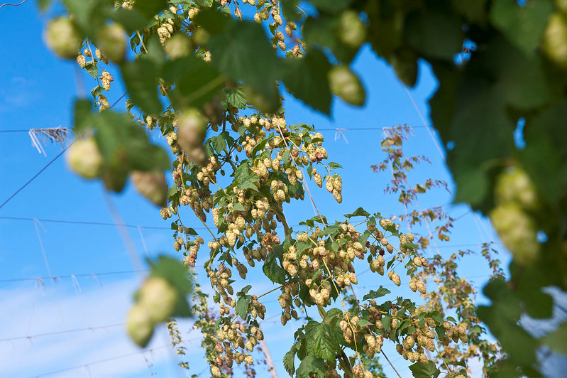 Hops grow at Oregon State University's hop yard in Corvallis.