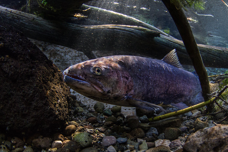 A spawning redband trout (O. mykiss) from the Upper Klamath Basin.