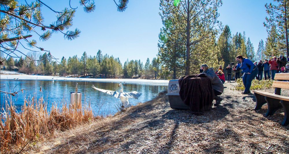 Crowd of onlookers watch as new trumpeter swan is released Wednesday at Lake Aspen in Sunriver