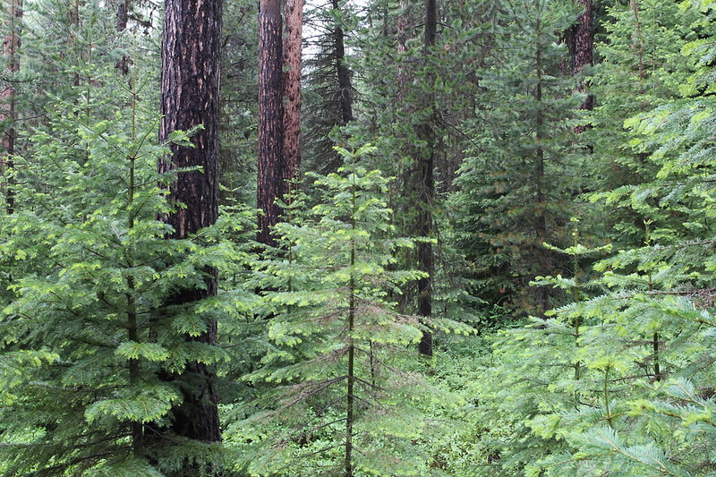 Extensive infill of grand fir into what were historically open eastern Oregon stands dominated by Ponderosa pine and larch