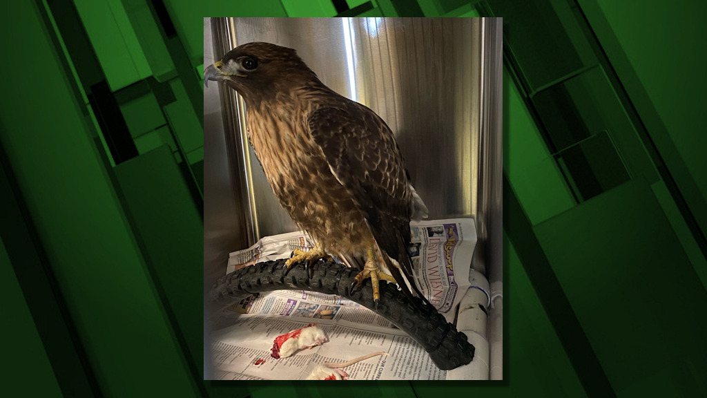Red tailed hawk recovering at Think Wild in Bend may not ride a bike, but a bicycle tire makes a handy perch