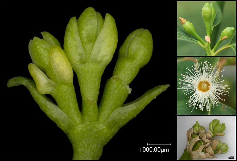 Image of a modified set of eucalypt floral buds that do not develop further to make viable pollen or seeds (main image and lower right), compared to wild type flower buds (upper right) and open flower (middle right)