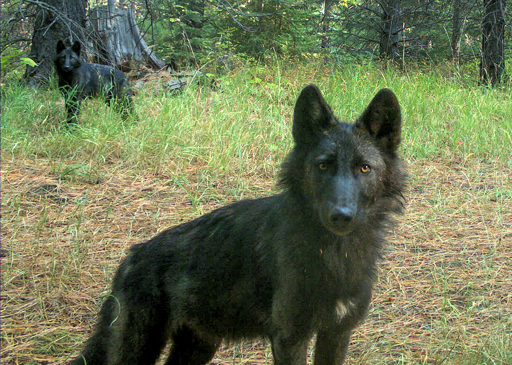 emote camera photo of two 5-month-old juvenile wolves of the Wenaha Pack on USFS lands in northern Wallowa County in September 2020