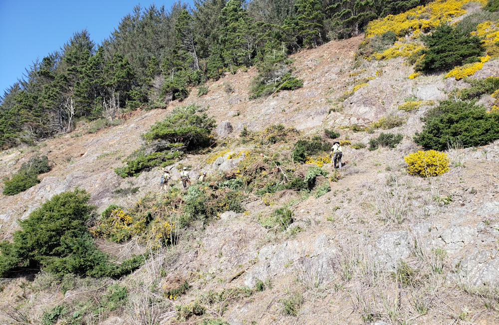 Rock scalers remove highly flammable gorse north of Brookings