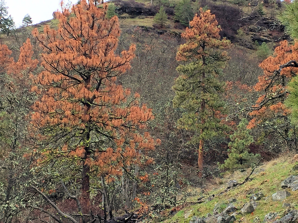 Ponderosa pines show dieback caused by Ips beetles, which attack a wide variety of pines injured by fire or storms or weakened by drought