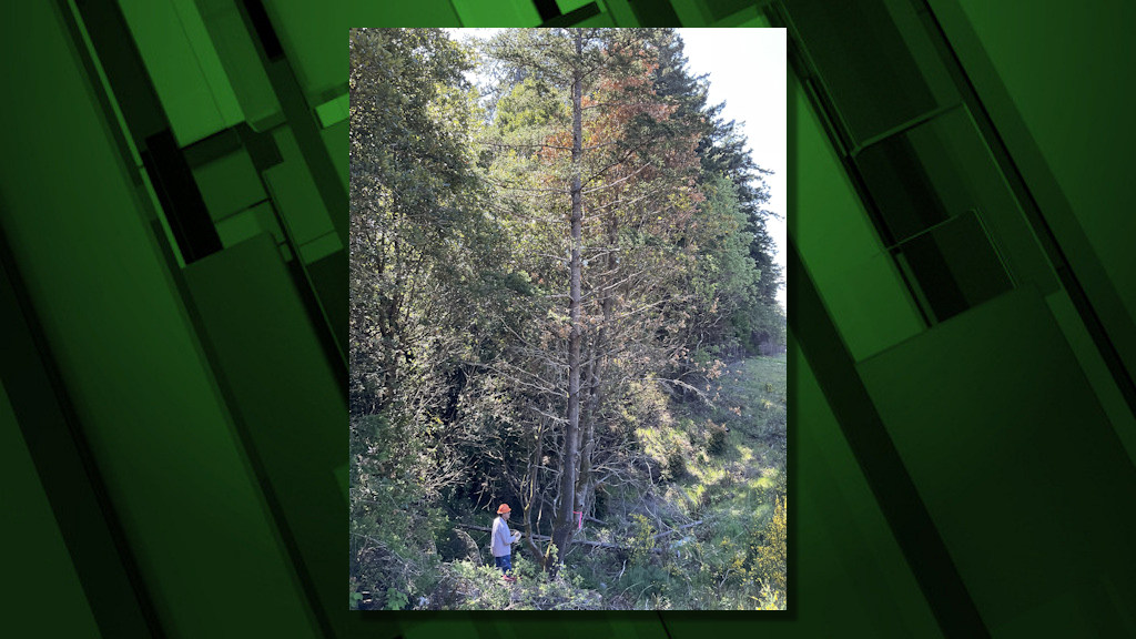 Tanoaks dying from sudden oak death along Highway 101 are inspected by a worker