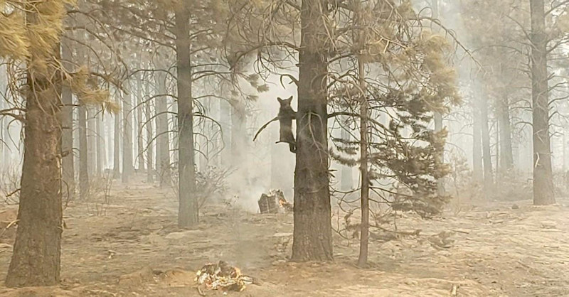 A bear cub was spotted and photographed in the area burned by the massive Bootleg Fire