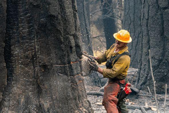 Extremely large trees weakened by fire are sometimes time consuming and complicated to fall. Falling teams come in to assist crews with such hazard trees. Only trees that threaten firefighter or public safety are removed