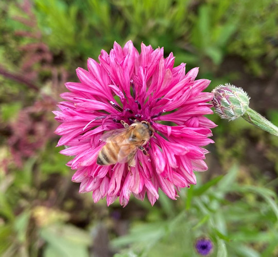 A honey bee collects pollen from a bachelor's button flower