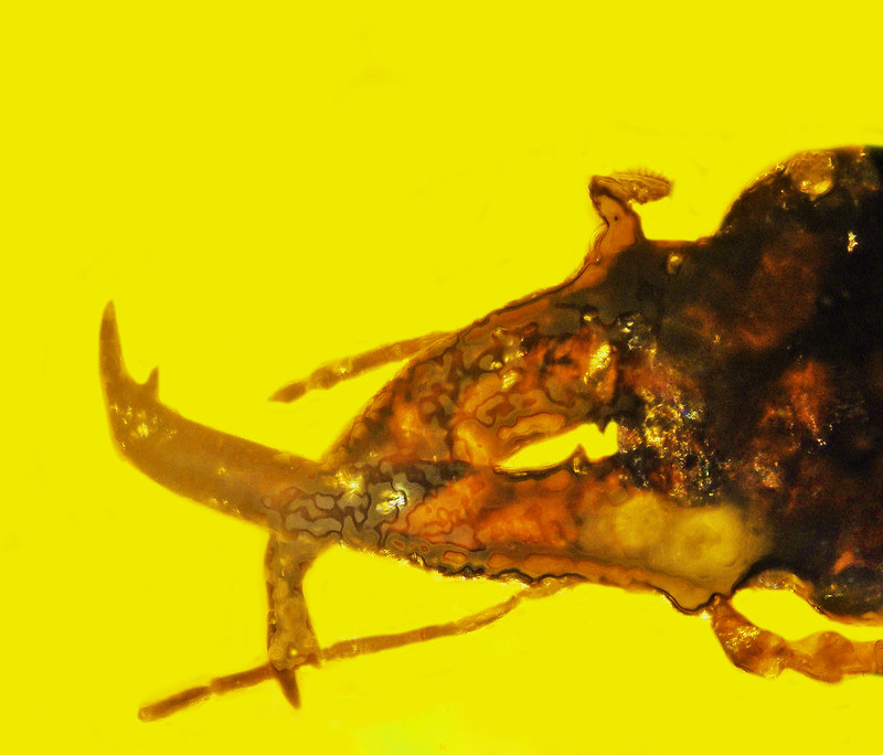 Rhamphophorus legalovii, as the long-bodied weevil fossil is known scientifically, probably wielded its trunk as a weapon while in combat with other males over females