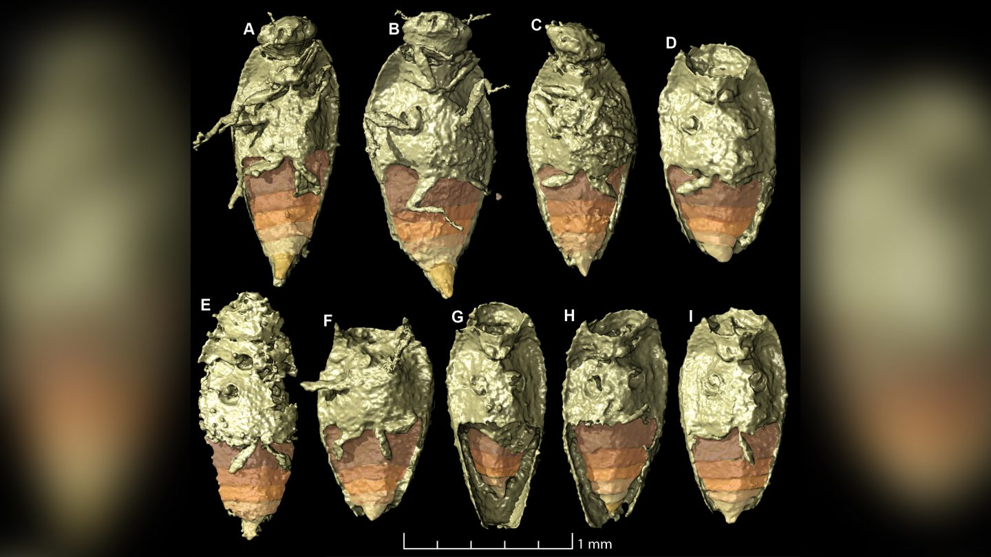 <i>Qvarnström et al.</i><br/>The tiny beetle Triamyxa coprolithica is the first insect to be described from fossil feces