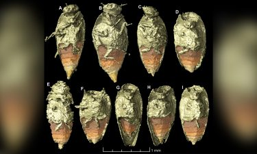 The tiny beetle Triamyxa coprolithica is the first insect to be described from fossil feces