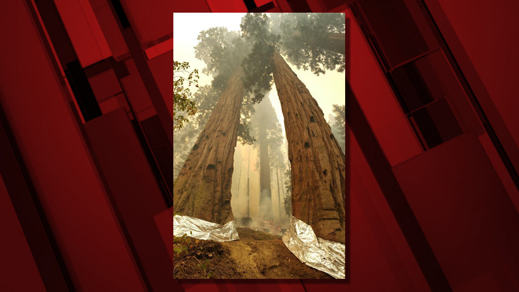 Towering sequoias have bases wrapped with fall as KNP Complex Fire threatens in Four Guardsman area of the Giant Forest